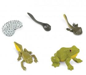 Cycle de la vie de la grenouille