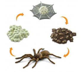 Cycle de la vie d'une araignée